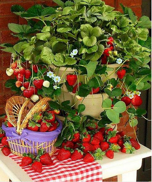 Как вырастить клубнику на балконе: красивые идеи и советы - .