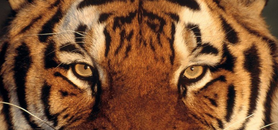 Как создать интерьер с тигровым окрасом: советы и примеры